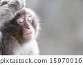 terrestrial, animal, monkey 15970016