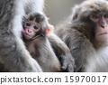 monkey, monkeys, japanese 15970017