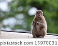 terrestrial, animal, monkey 15970031