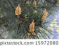 Pinus thunbergii花 15972080