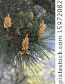 Pinus thunbergii花 15972082