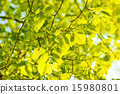 background, green, leaves 15980801