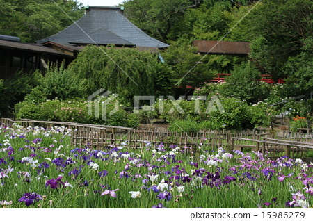 Iris garden 15986279