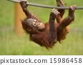 走鋼絲 猩猩 自然 15986458