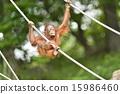 走鋼絲 猩猩 自然 15986460