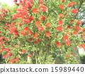 芸苔nucifera红色花在Kojima公园花园里 15989440