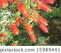 芸苔nucifera红色花在Kojima公园花园里 15989441