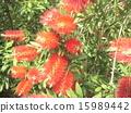 芸苔nucifera红色花在Kojima公园花园里 15989442