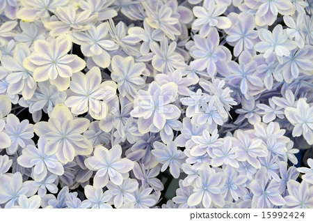 繡球花萬花筒(島根縣的繡球花) 15992424