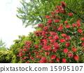 芸苔nucifera红色花在Kojima公园花园里 15995107