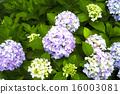 hydrangea, flowers, flower 16003081