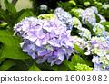 hydrangea, flowers, flower 16003082