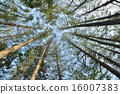arboreal, tree, japanese larch 16007383