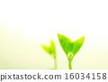 edamame, sprout, germinating 16034158