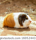 Guinea pig on the ground 16052443