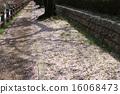 ต้นซากุระ,ดอกซากุระบาน,ซากุระบาน 16068473