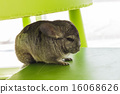 Chinchilla grey color, sitting in chair 16068626