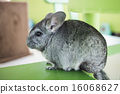 Chinchilla grey color, sitting in chair 16068627