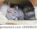 Chinchilla groups sleeping in hole. 16068629