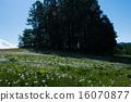 dandelion, pine, forest 16070877