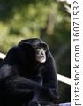 monkey, monkeys, gibbon 16071532