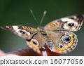 Common Buckeye Junonia Coenia 16077056