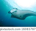 黄貂鱼 蝠鲼 光线 16083787