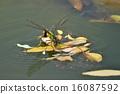 产卵的蜻蜓 16087592
