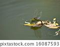 产卵的蜻蜓 16087593