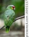 野生生物 鹦鹉 绿色 16093337
