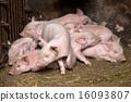 戰鬥 農場 豬 16093807