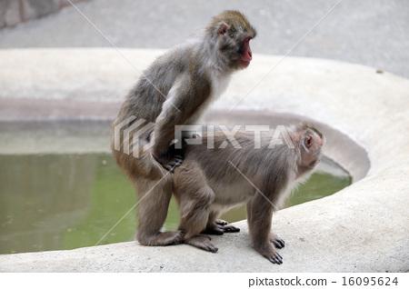 交配日本猴子 16095624