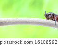 rhinoceros beetle 16108592