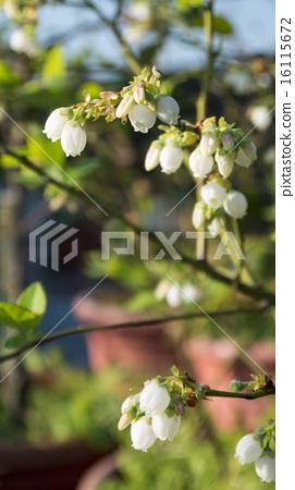 暖地小藍莓  花  園藝 16115672