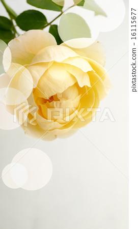 黃玫瑰 白色背景 美麗 圓點 16115677
