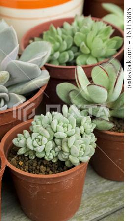 多肉植物 耐旱植物 園藝 興趣  16115885
