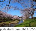 櫻花樹在Makizaki cho Nakagawa河 16116255
