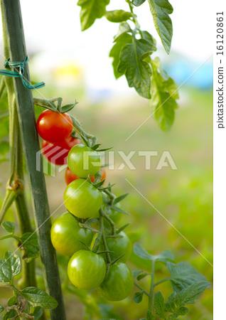 蕃茄 16120861
