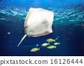 Manta ray floating underwater 16126444