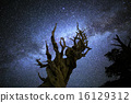 Milky Way Galaxy over Bristlecone Pine Tree 16129312