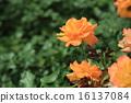 玫瑰 玫瑰花 花朵 16137084