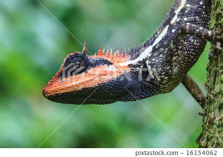 Green crested lizard 16154062