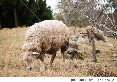 一隻羊 16199612