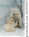 การเลี้ยงลูกด้วยนมหมีขาว 1 16205627