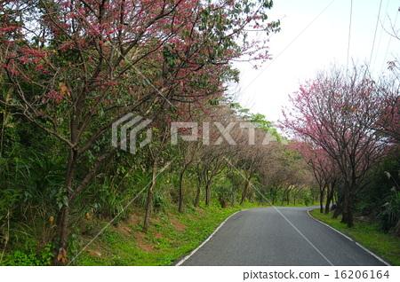 櫻花 16206164