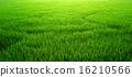 草地 水稻 稻米 16210566