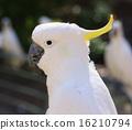 黄色 鹦鹉 野生生物 16210794