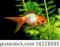 White orange goldfish 16228095