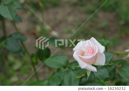 로얄 하이 네스 장미 꽃과 雨雫 16230232