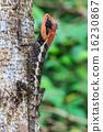 Green crested lizard 16230867
